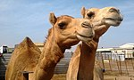 Camels in a small farm.jpg